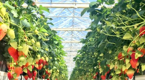 Strawberries Set to be Super Sweet this Summer